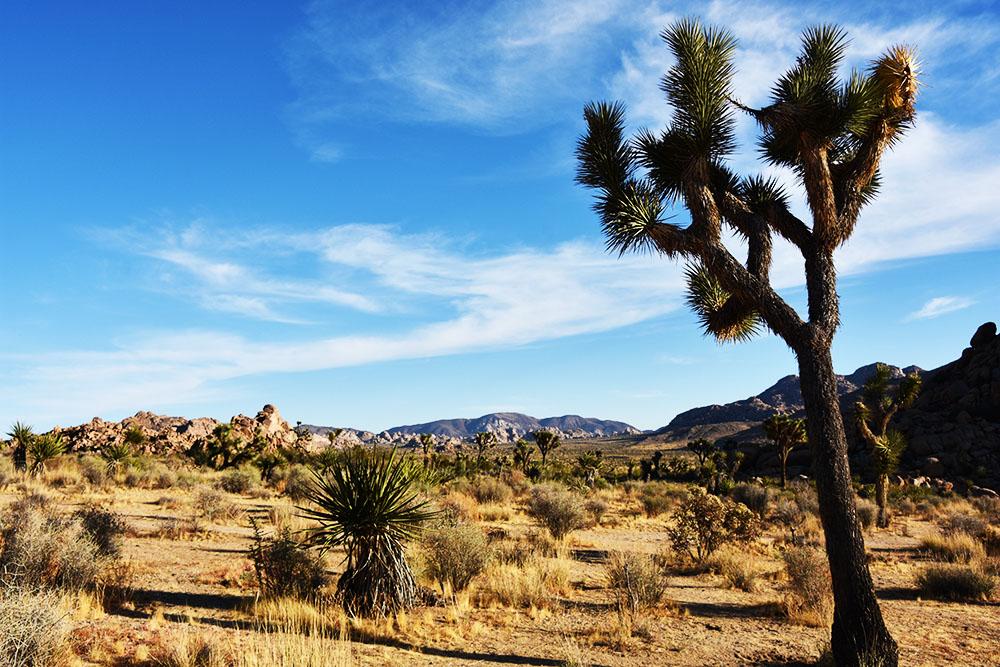 南カリフォルニアの人気観光地 ジョシュア・ツリー国立公園