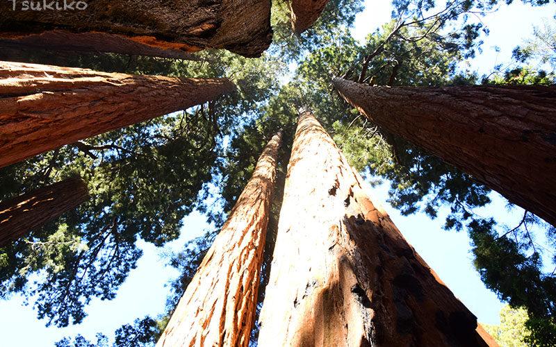 世界一大きな樹木の原生林 <br/>セコイア・キングスキャニオン国立公園